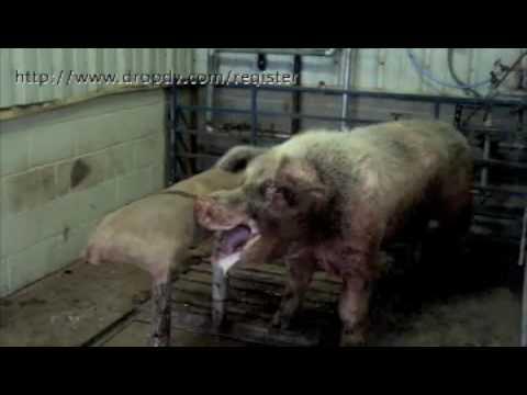 Bullseye reccomend Swine sperm for sale