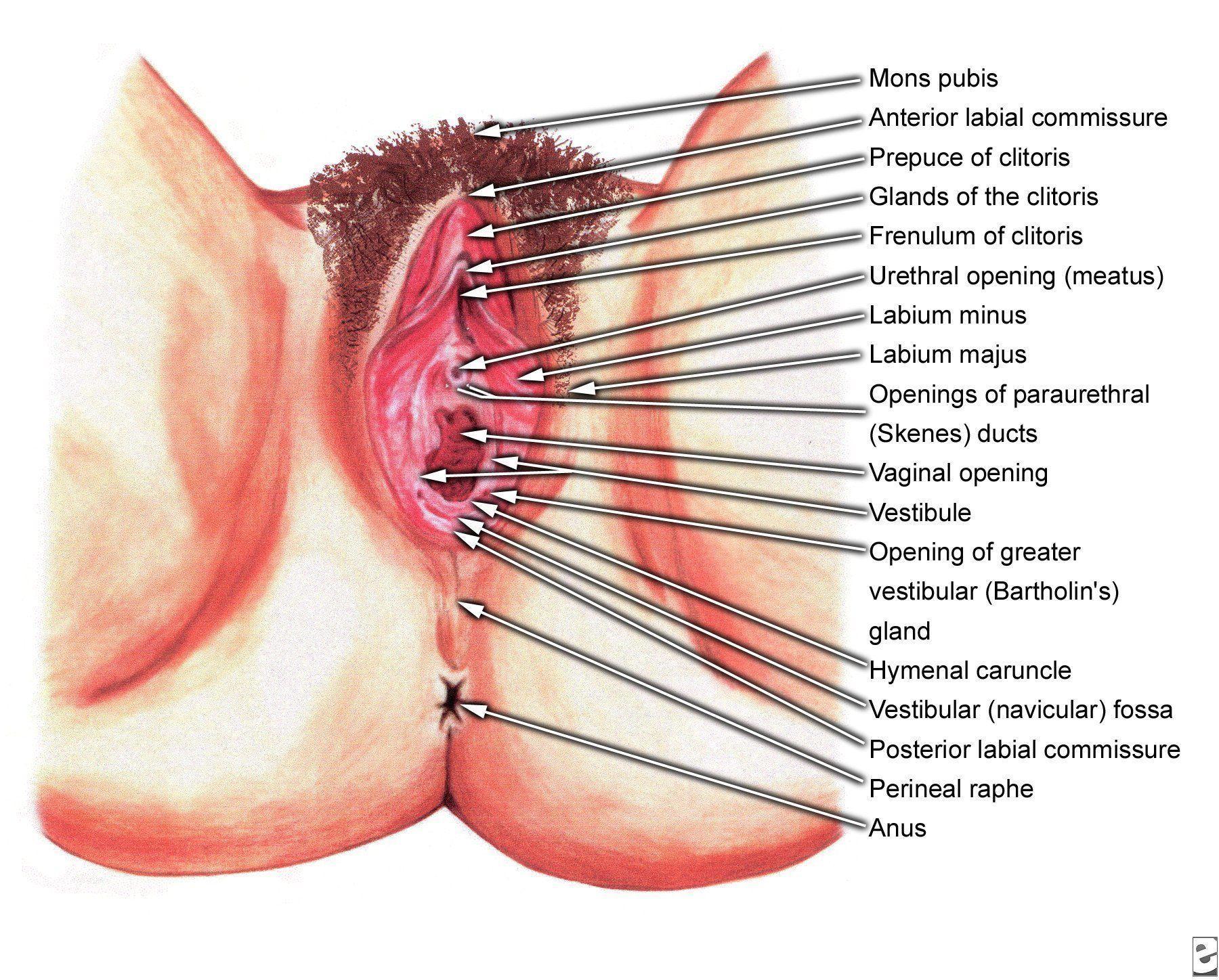 Female human vagina info